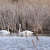 Trumpeter Swans spotted
